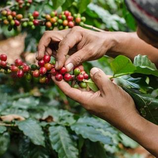 Chế biến cà phê arabica